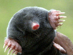 Cute mole (animal)