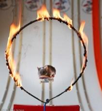 Skateboarding mouse flies through a ring of fire