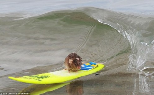 These mice can surf too