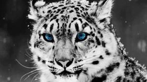 Blue-eyed feline
