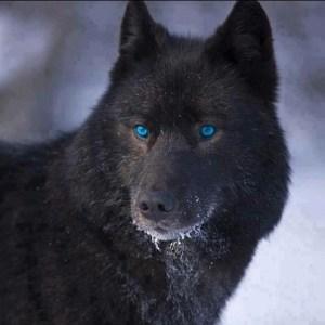 Blue-eyed wolf