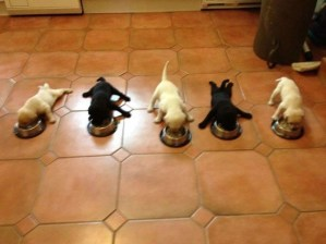 Black and white puppies eating