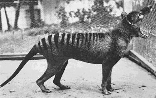 Rare photograph of a Thylacine