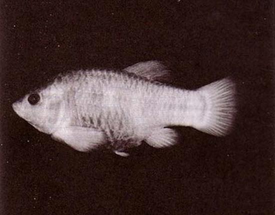 Rare photograph of a Tecopa Pupfish