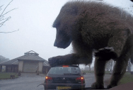 Well-timed photo of monkey on car windshield gives allusion of giant monkey attacking car
