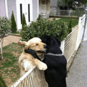Cute well-timed photo - black and white dogs hugging over fence