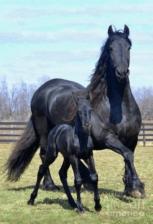 Cute well-timed photo - mother horse and baby horse run together