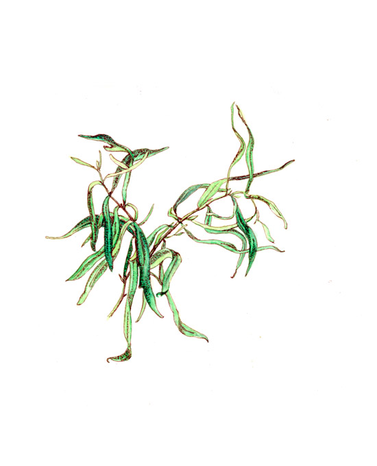 Tarragon - winds and tangles on a runner