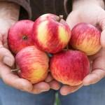 「わからないから楽しい」ーリンゴはなぜ赤いの?