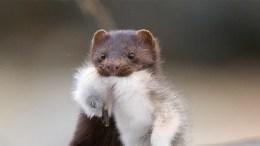 SKAL REDUSERES: Frem til sjøfuglen skal starte hekkingen i mars vil det jaktes på mink i våre områder i Raet nasjonalpark.