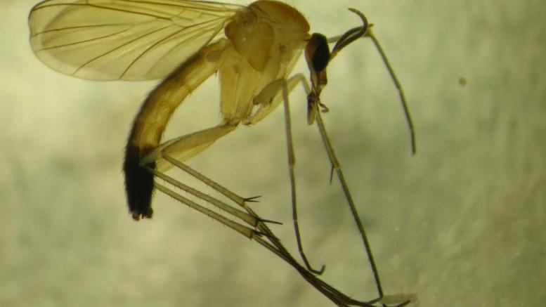 SJELDEN KAR: Denne utgaven av mygg er aldri tidligere funnet i Aust-Agder før den ble oppdaget på Tromøy i august i fjor. Foto: Kjell Magne Olsen / Biofokus