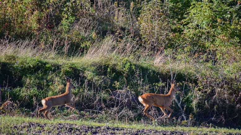 LEVER FARLIGERE: Tromøy Viltlag utvider sitt jaktområde for rådyr på øya. Arkivfoto