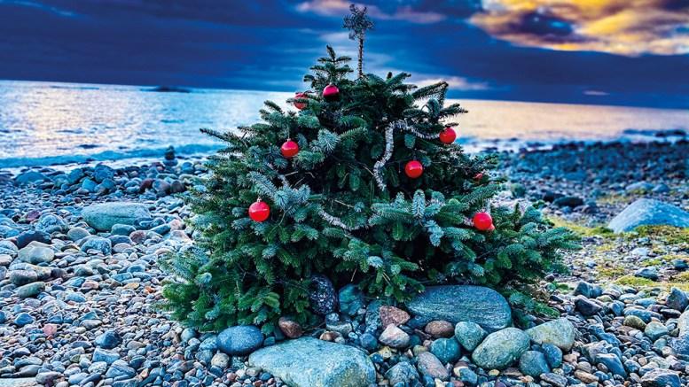 HOVE-TREET: Julegrana karrer seg fast i rullesteinene på Hove, og er blitt et ikon for jul på Tromøy. Foto: Esben Holm Eskelund