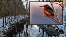 ISFUGL: Den sjeldne arten isfugl er blitt stadig mer observert i området mellom Sandumkilen og Gjerstadvannet, ifølge Norsk ornitologisk forening avd. Aust-Agder. Foto: Arkivfoto/ Terje Moen / Montasje