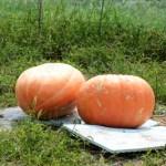 おばけかぼちゃを収穫してきました。