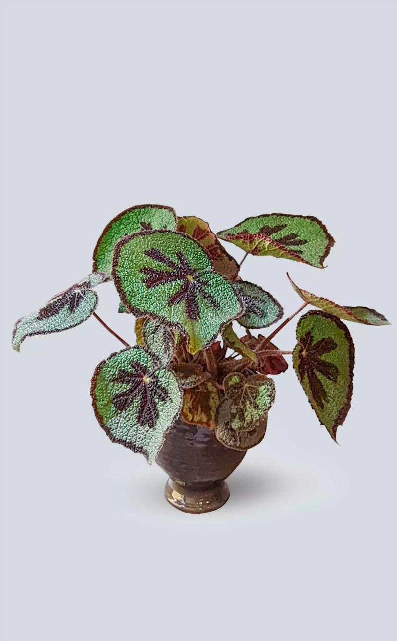 Augalas Begonia masoniana