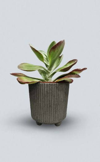 Kalanchoe thyrsiflora-kambarinis-augalas