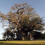 A estranha morte dos incríveis embondeiros africanos