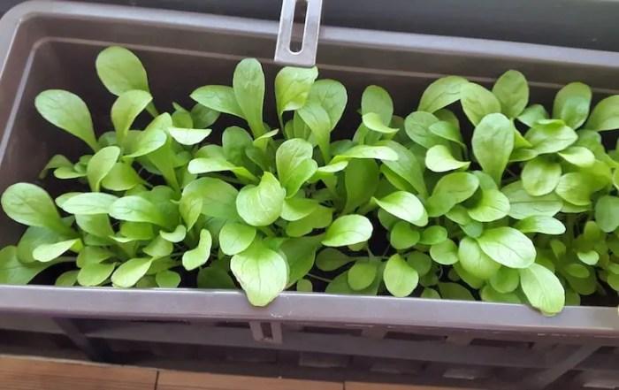 Feldsalat auf dem Balkon
