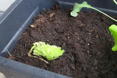 Blattsalat auf dem Balkon anbauen_5
