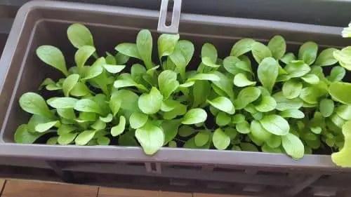 Feldsalat im Blumenkasten erntereif