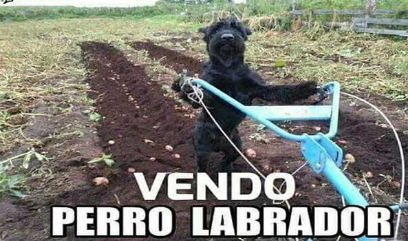 1218-15-02-16-perro-labrador-humor