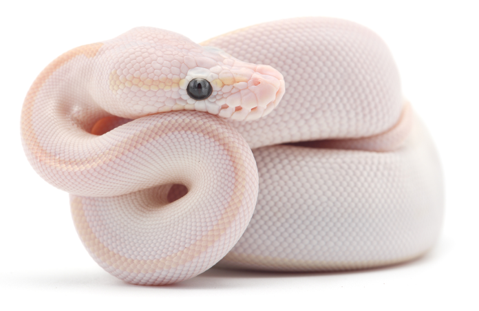 blue eyed lucy ball python