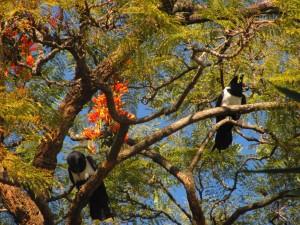 gunguwo pied crow