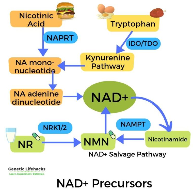 creating NAD+ from NMN and NR and tryptophan