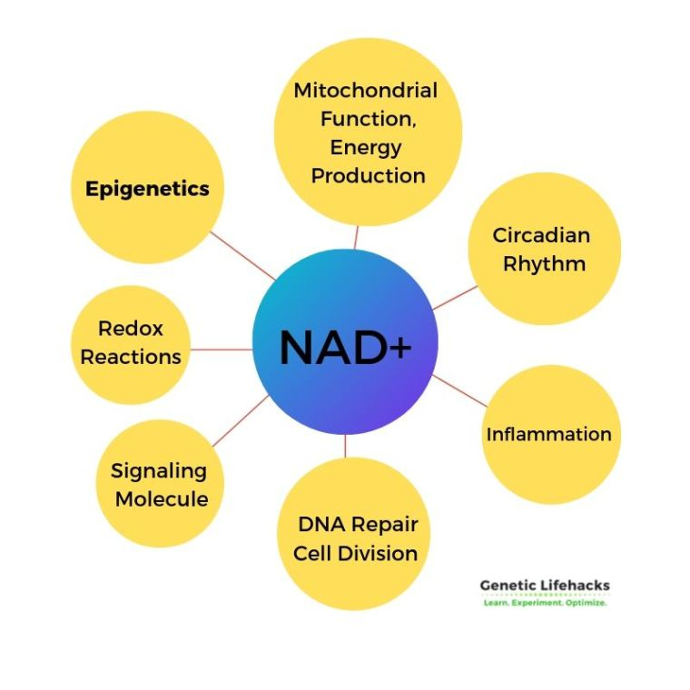 NAD+ is important in a number of cellular processes