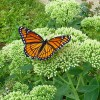 Ontario farmer: Milkweeds, monarch butterflies and GMOs--What should science-minded farmers do?