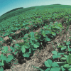 GMO proponents may have overstated benefits of herbicide-resistant soy on environment