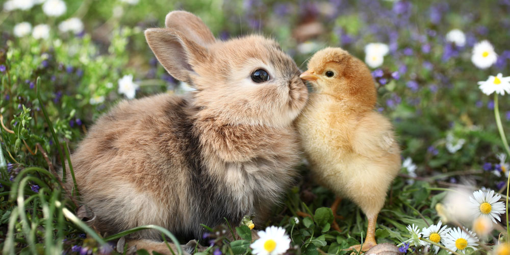 Baby bunny and chick kissing