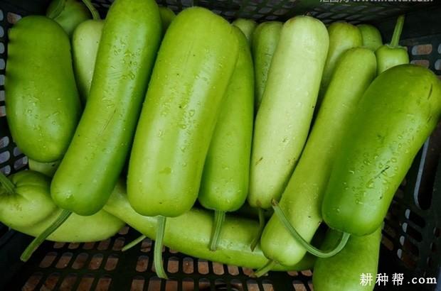 夏季瓠瓜如何种植?