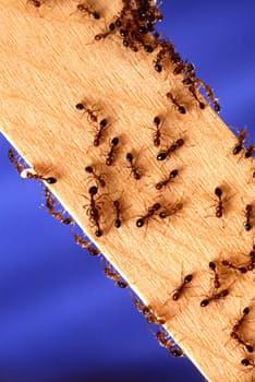 Genitorialmente | Come eliminare le formiche in casa