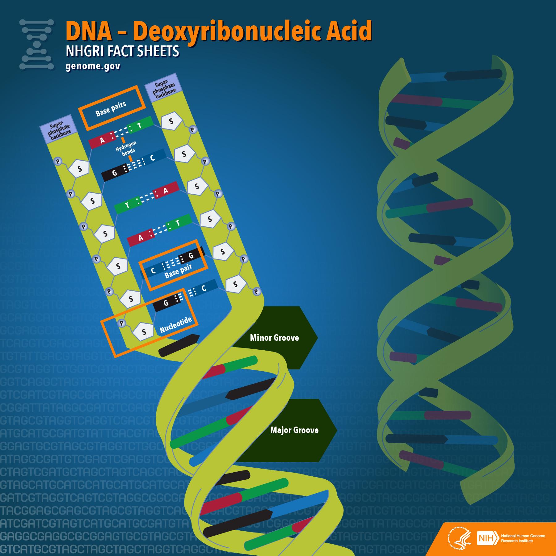 Deoxyribonucleic Acid Dna Fact Sheet