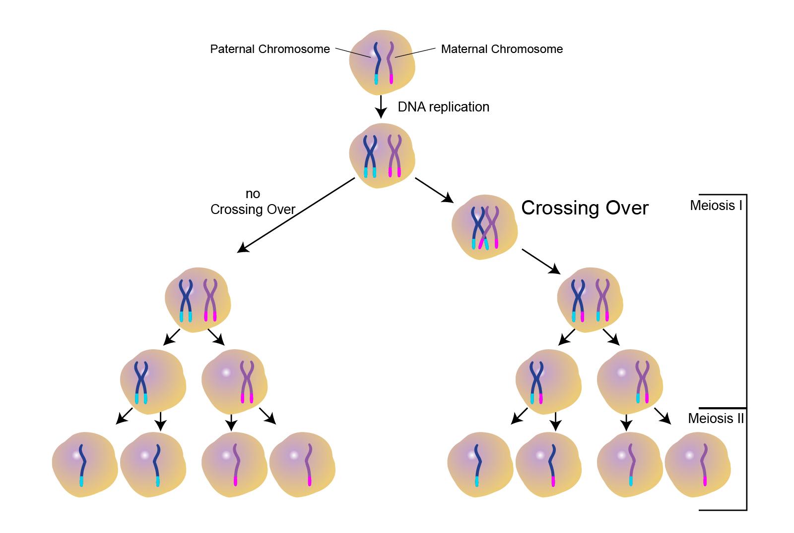 Genetic Makeup Of Meiosis