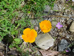 poppies in Sycamore Grove Park a favorite hiking trails in livermore ca