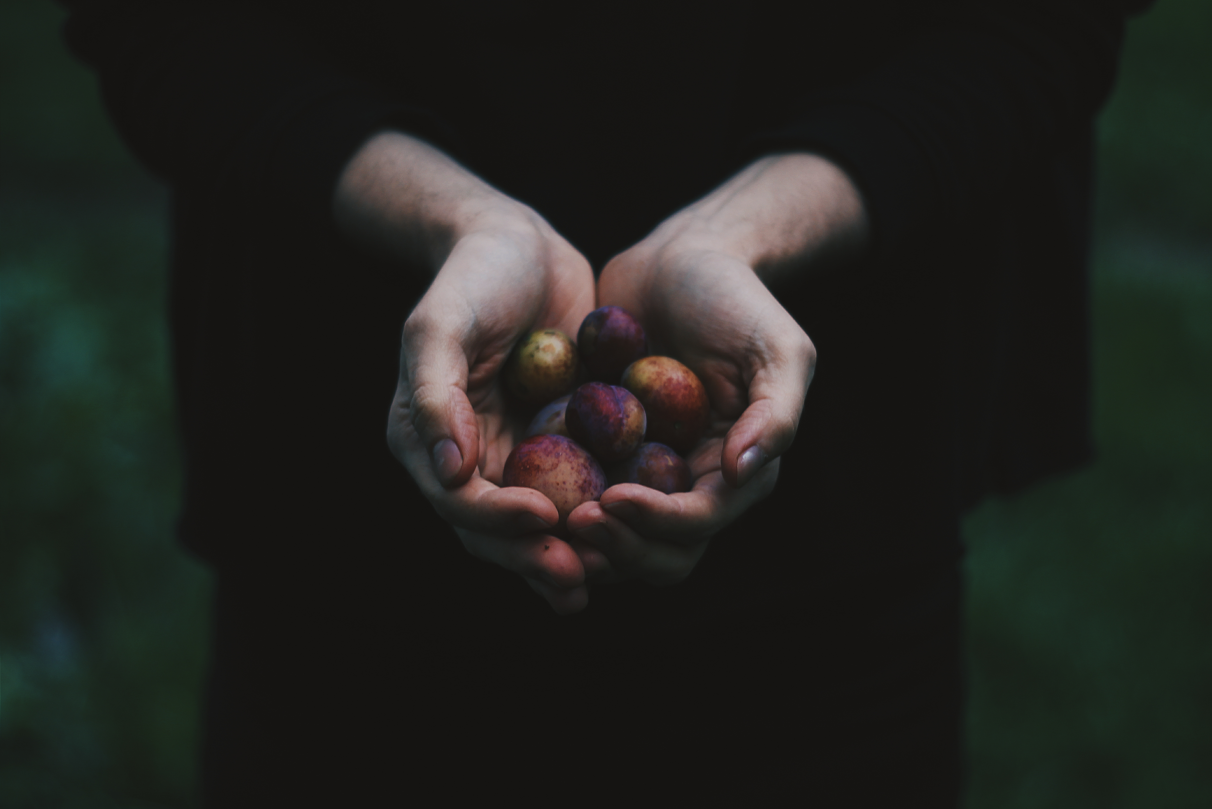 Dark plums in cupped hands