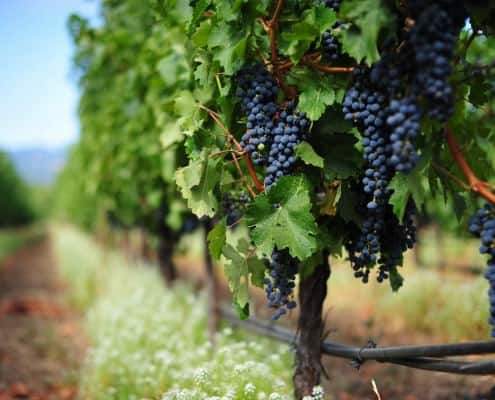 Cabernet Sauvignon Grape - often call the King because of its immense flavor