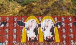 Valpo Cows