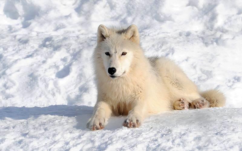 Αρκτικά ζώα: Αρκτικός λύκος