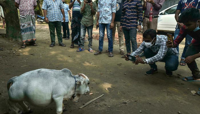 People have flocked to a farm outside Dhaka to see what its owners say is the worlds smallest cow. — AFP