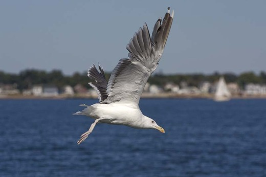 New Haven Harbor Gull