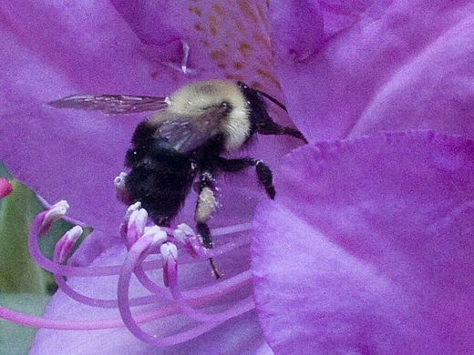 bee-in-rhododendron.jpg