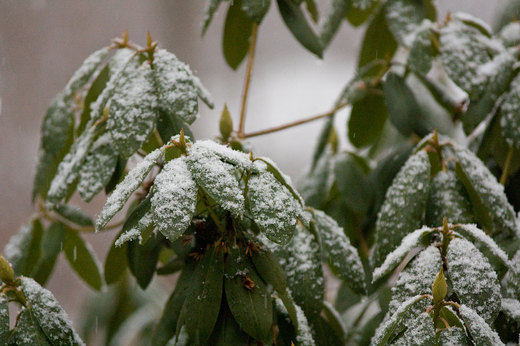 light-snow-on-rhododendron.jpg