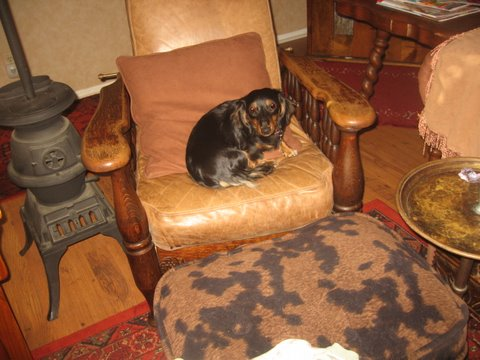 roxie on a leather chari.JPG