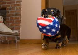 roxie-carries-a-patriotic-toy.jpg
