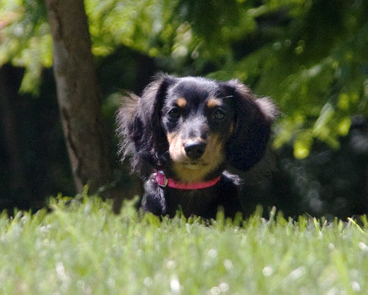 roxie-regally-sits-in-the-grass.jpg