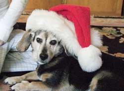 Sydney the dog wears a Santa hat